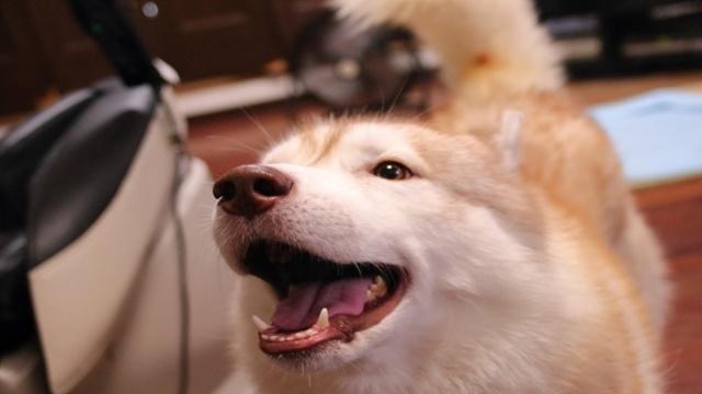 値段 ハスキー 犬 シベリアンハスキーの性格や大きさや価格・値段は?犬の飼い方のコツ3選